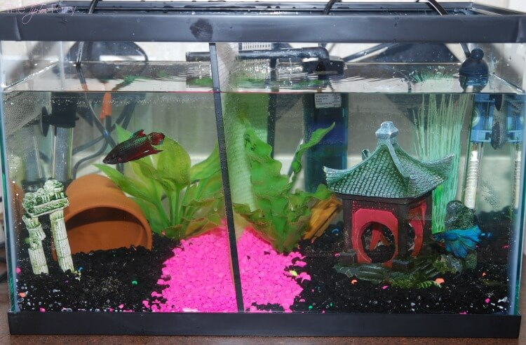 Eight reasons why having a pet fish is awesome the for Betta fish tanks petsmart